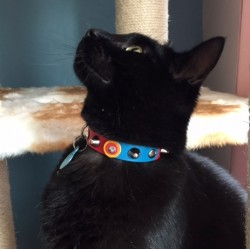 FC Barcelona Barça Studded Cat Collar Shown by Tebby from Holland