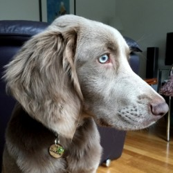 Dalva, Weimaraner from Holland with her Original Dog Tag of Spanish Olive Wood
