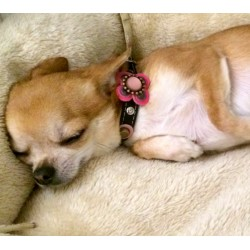 Chihuahua Mia from Austria with her Luxury Chic and Fashionable Collar for Small Dogs with Nice Pink Fuchsia Leather Flower