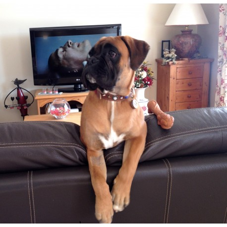 Beautiful Boxer Dog Prosper from France Showing Collar and Dog Tag