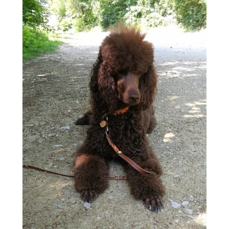Poodle Ayoomi Showing her Set of Superpipapo Dog Collar with Matching Lead and Olive Dog Tag