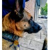German Sheppard Lyra showing her Engraved Olive Wooden Dog Tag