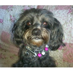 Small model Tchang from France Leather with a very Original Dog Collar with beautiful pink and white Heart-shaped pendants