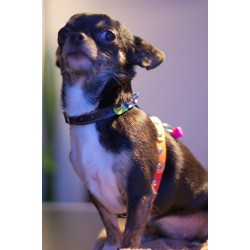 """Pretty Chihuahua """"Sunshine from Kaiser House"""" (or Sunny from Germany) with her new Rainbow Design"""