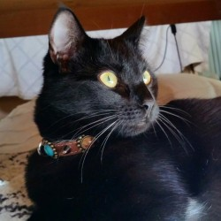 Black Cat Harmony with her beautiful Bohemian Style Rivets Leather Collar for Cats